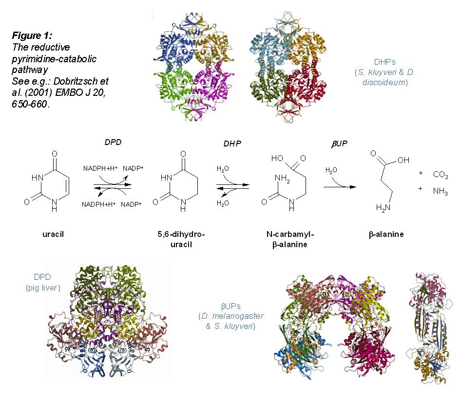 Structure image of the reductive pyrimidine-catabolic pathway.