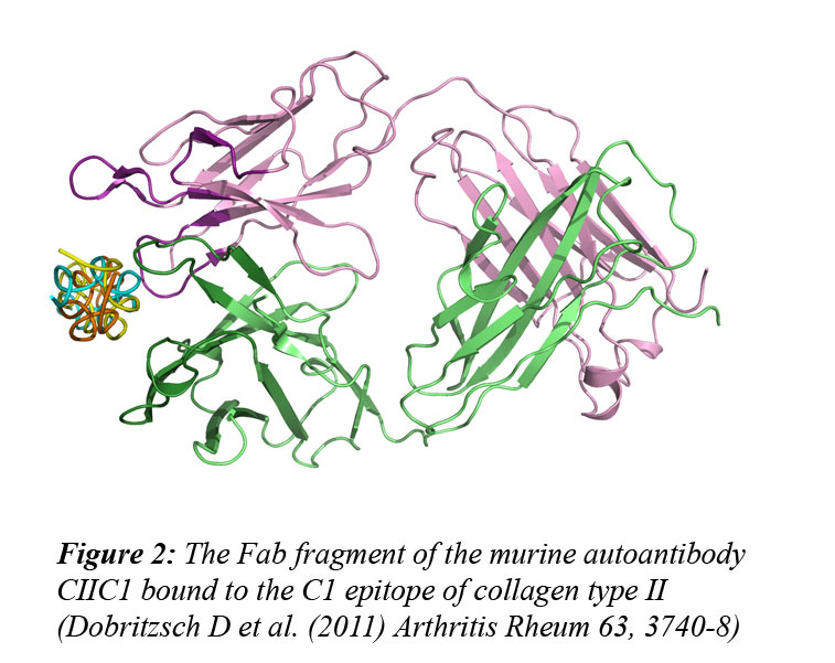 The structures of the arthritogenic murine autoantibody Fab fragments.